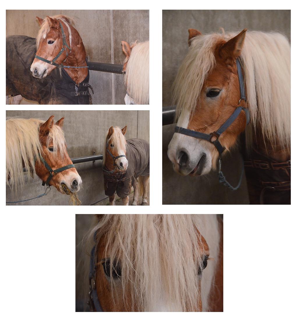 collage-paarden